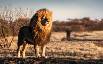 Nutzen Sie die Löwen-Strategie für Ihren souveränen Auftritt